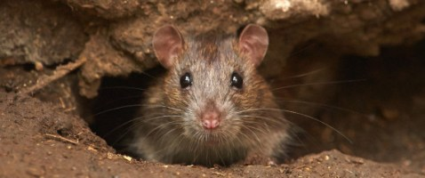 Image result for dead rodents