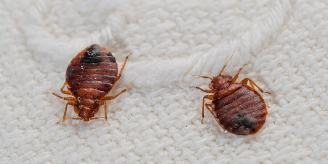 Bedbugs - Hostel Tips