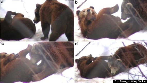 brown bear oral sex