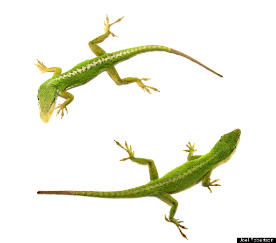 lizards regenerate tail