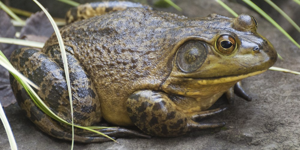 Image result for toads and  edible bullfrogs.