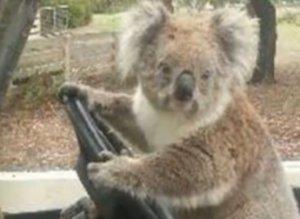Carjacking Koala