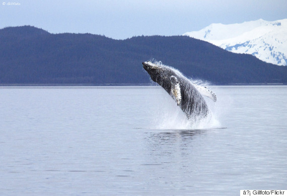 humpback alaska