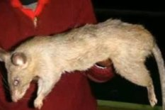 Rats Attack Babies