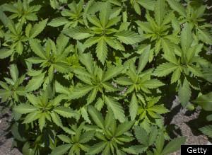 Mexico Marijuana Plantation