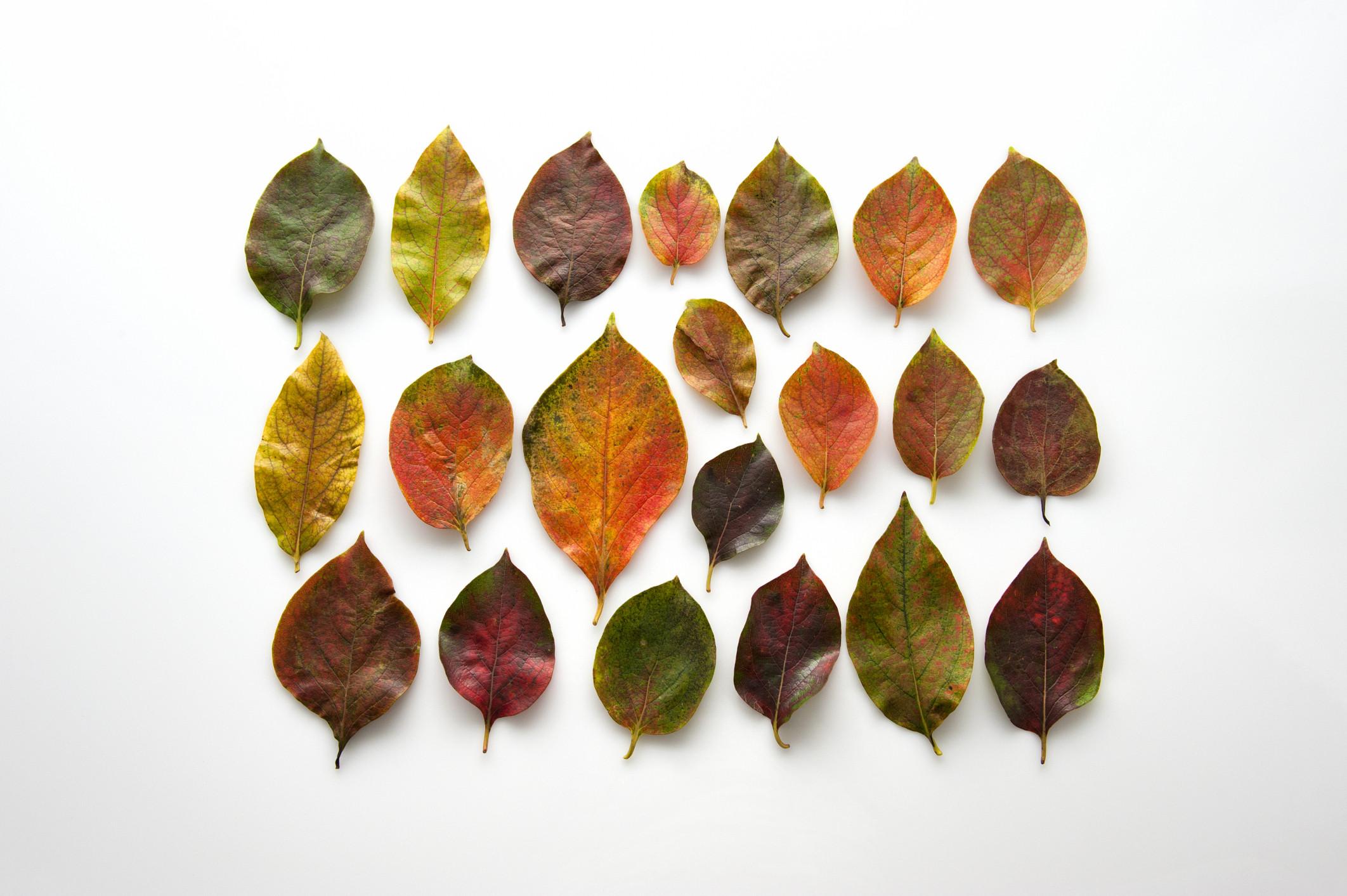 le saviez vous pourquoi les feuilles d automne sont rouges. Black Bedroom Furniture Sets. Home Design Ideas