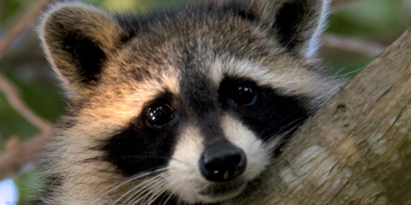 Toronto Raccoon Hangs Out At Pearson International Airport