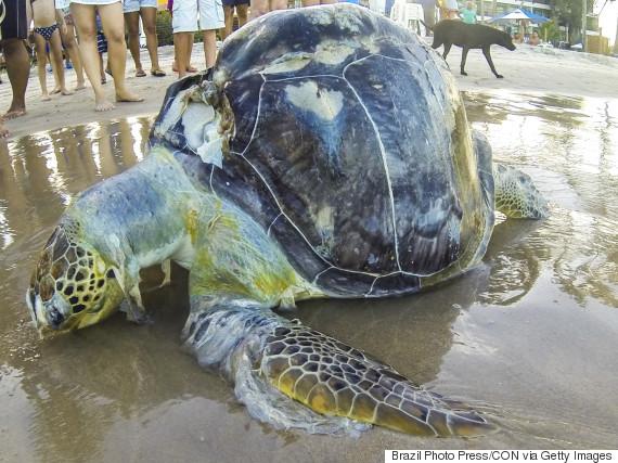 dead sea turtle plastic