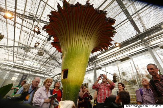 a corpse flower
