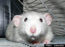 Rats Laugh