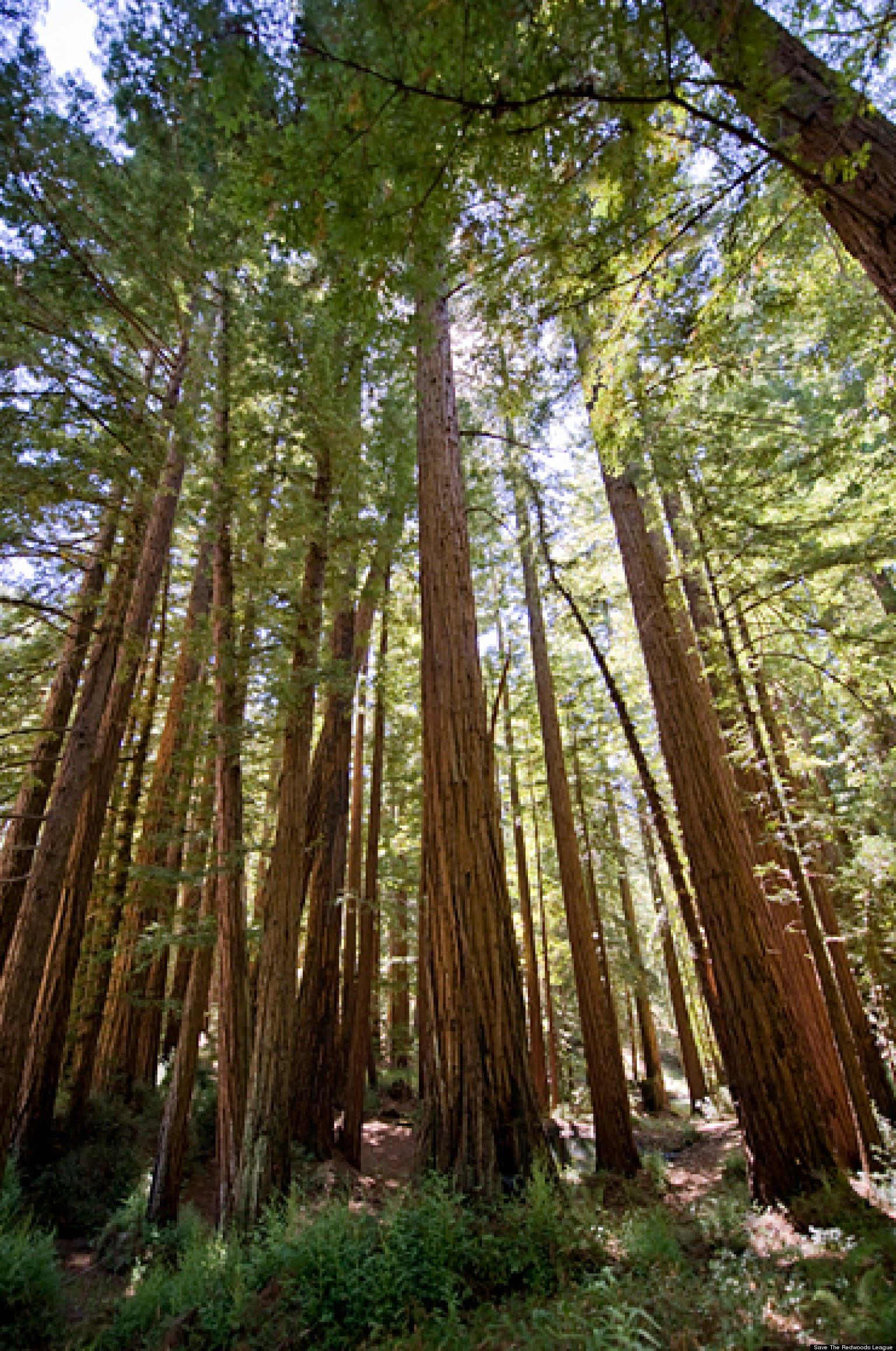Redwood Forests Groups Fight To Preserve Rare Old Growth