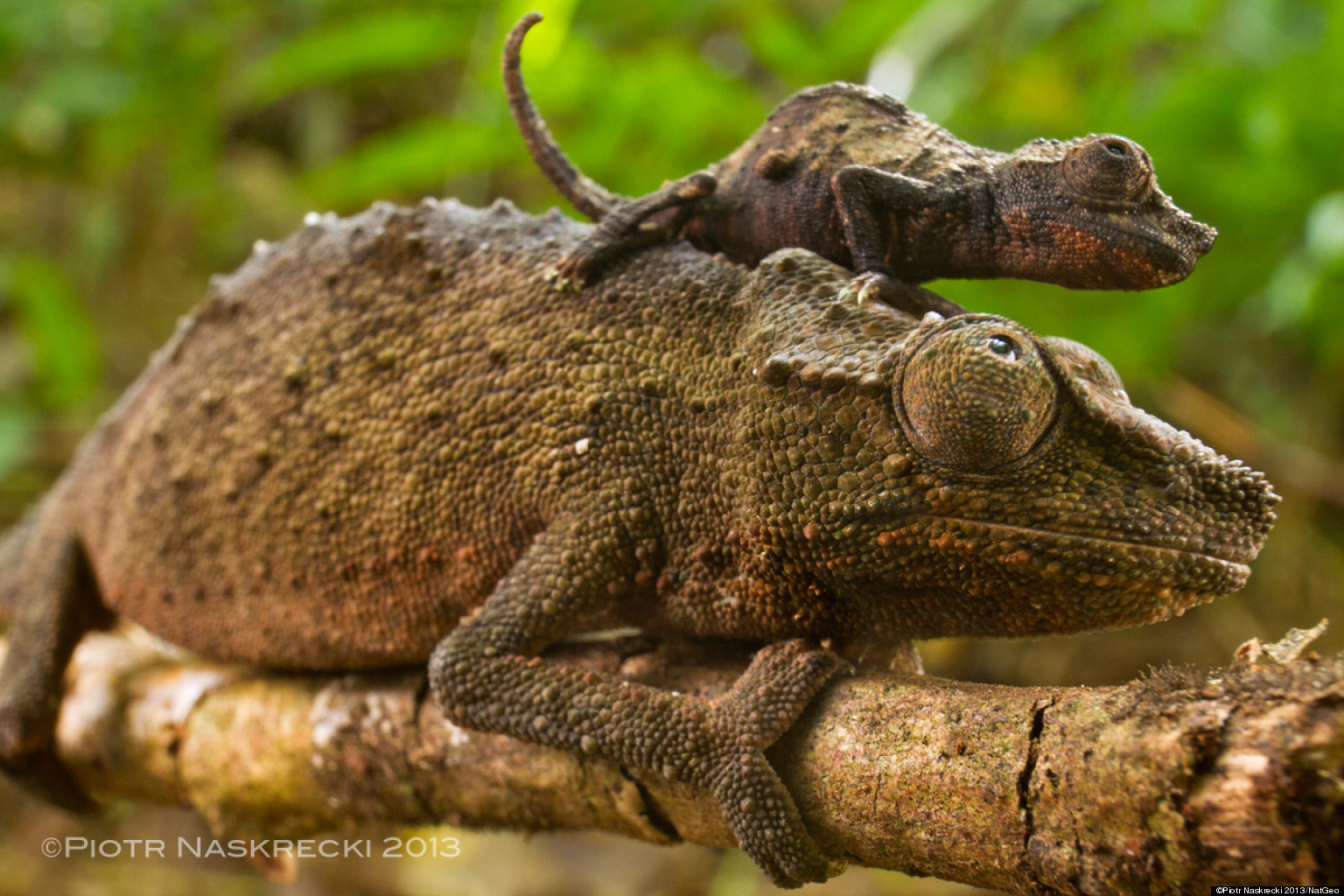 Pygmy Chameleon Photos Show Stunning Creature In Natural