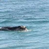 Σφραγίδες απειλούμενων με εξαφάνιση εντοπίστηκαν κατά μήκος της τουρκοκυπριακής ακτής