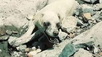 Bu nasıl insanlık! Hakkari'de köpeğin gözlerini oyup terk ettiler