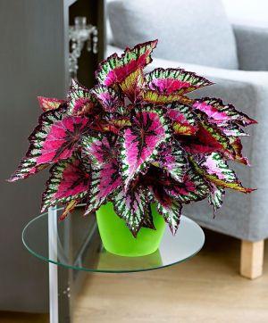 Tanaman-Begonia-Rex-Untuk-Indoor
