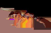 Camponotus-americanus.png