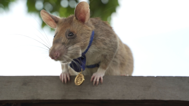 EMBARGOED TO 0001 FRIDAY SEPTEMBER 25 Undated handout photo issued by the PDSA of Cambodian landmine detection rat, Magawa, wearing his PDSA Gold Medal, the animal equivalent of the George Cross. Magawa, a giant African pouched rat, has discovered 39 landmines and 28 items of unexploded ordnance since he was trained by charity APOPO. PA Photo. Issue date: Friday September 25, 2020. See PA story ANIMALS Rat. Photo credit should read: PDSA/PA Wire NOTE TO EDITORS: This handout photo may only be used in for editorial reporting purposes for the contemporaneous illustration of events, things or the people in the image or facts mentioned in the caption. Reuse of the picture may require further permission from the copyright holder.