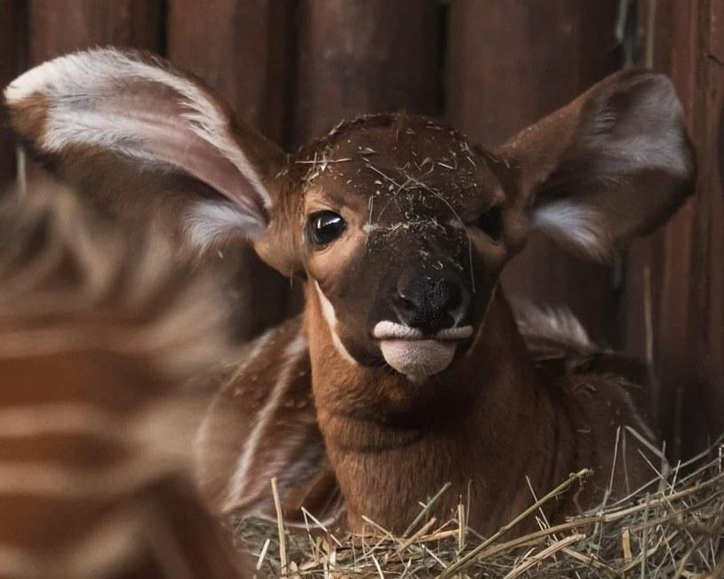 Mała antylopa bongo czeka na imię /Warszawskie zoo /facebook.com