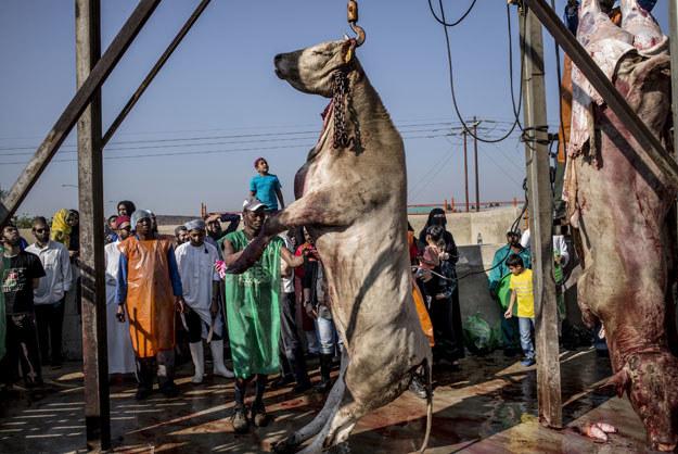 Muzułmański ubój rytualny w południowoafrykańskiej Lenasi po Johannesburgiem. Takie praktyki będą dozwolone również w Polsce /AFP
