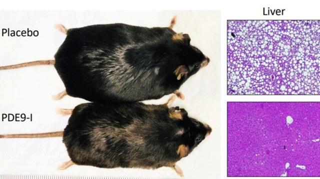 Po zastosowaniu wysokotłuszczowej diety, myszy były albo wybrane do przyjmowania doustnego leku hamującego PDE9 lub placebo. Inhibitor PDE9 zmniejszył całkowitą zawartość tłuszczu w organizmie i wątrobie u myszy bez zmiany diety lub aktywności fizycznej. Jednak myszy przyjmujące placebo nadal przybierały na wadze i tłuszczu w wątrobie w ciągu 6-8 tygodni