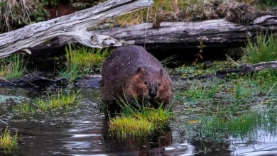Beavers Take Down Canada Internet Service After Chewing Cables