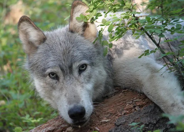 b866042c803bea8d7324cc818488089c Birth of 3 Wolf Pups Means Colorado Has Its First Native Wolves Since the 1940s | Gizmodo