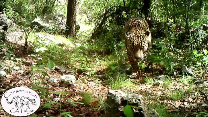America's Last Known Wild Jaguar 'El Jefe' Seen Chilling in Tucson in Rare Video