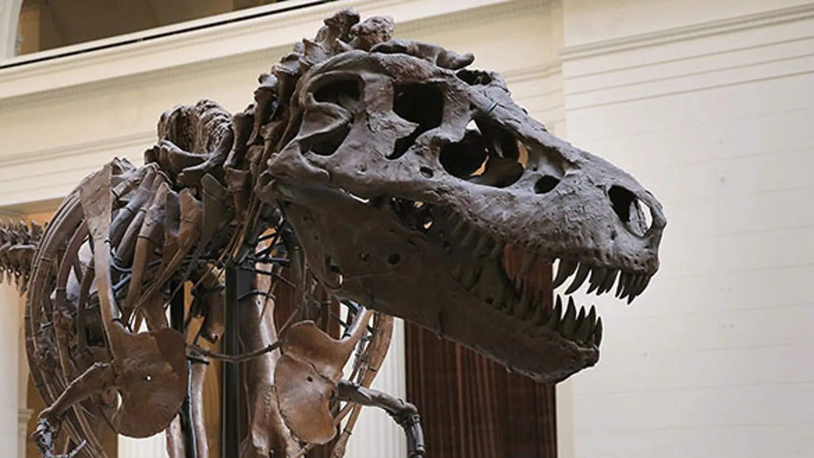 Paleontologists Discovered Sue The T Rex 25 Years Ago Today