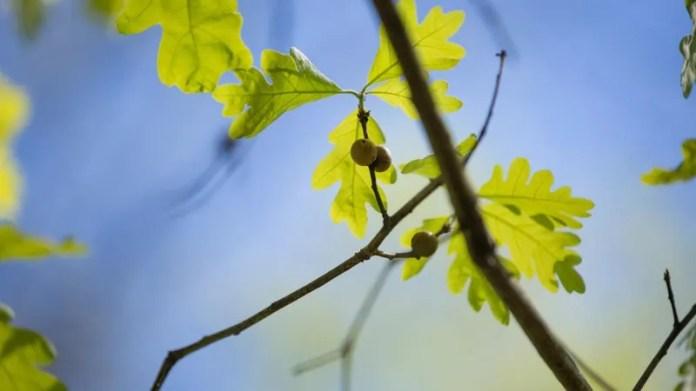 Blätter und Gallen von weißen Eichen wurden während des US-Bürgerkriegs zur Herstellung pflanzlicher Antiseptika verwendet.