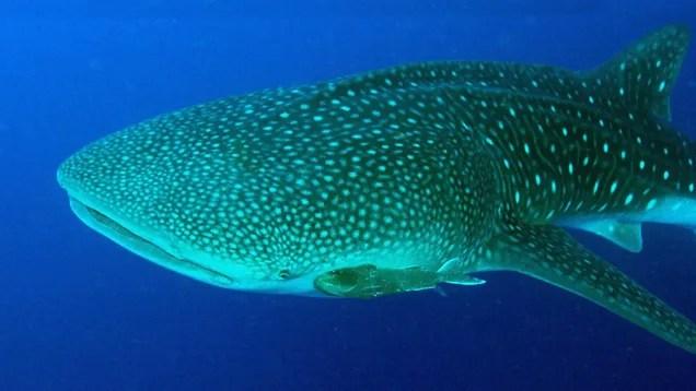 et6ykbxvridzjlotzihv Whale Sharks Have Eyeballs Covered in Tiny Teeth   Gizmodo