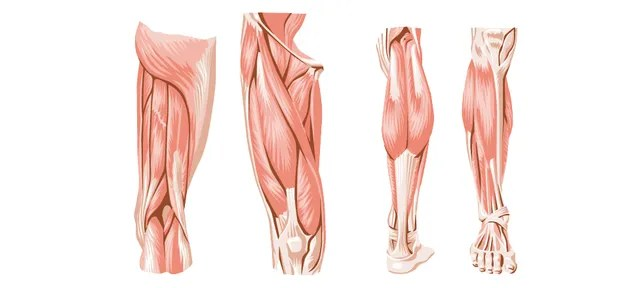Pig Bladders Could Be the Secret to Healing Severe Muscle Injuries