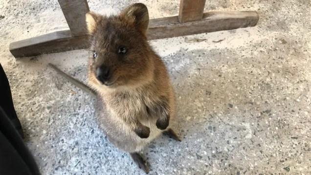 vcnqigwretigyqmeiriz Australia Converts Tourist Island Full of Quokkas Into Covid-19 Quarantine Zone | Gizmodo