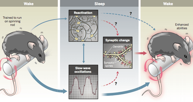 We May Finally Know Why Sleep Improves Memory