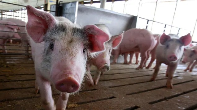 548ab16c54e16d05984f83a2413d8509 Ebola-Like Pig Illness Pops Up in Germany, Doesn't Pose a Threat to Humans | Gizmodo