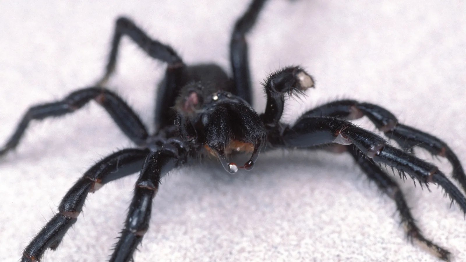 Most Deadly Spider Australia