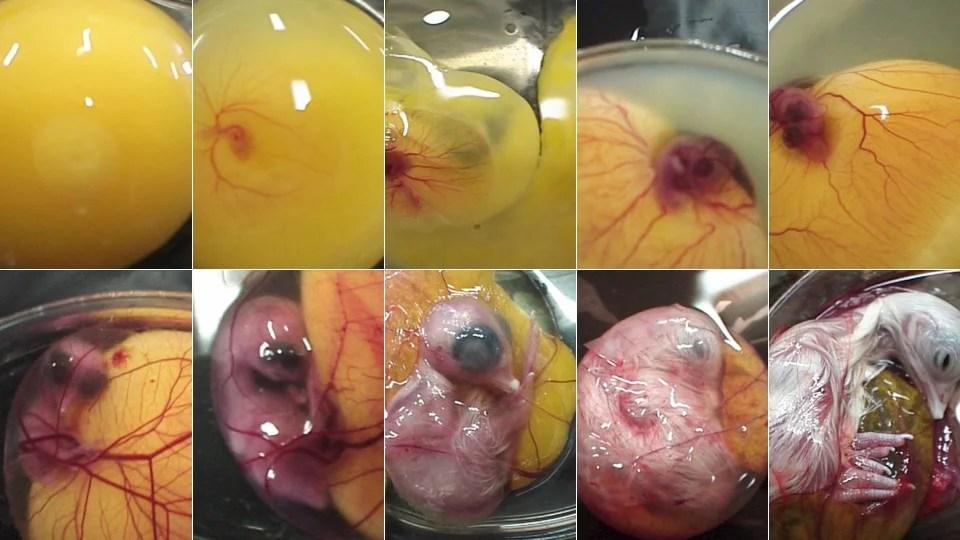 Resultado de imagen para chicken eggs evolution