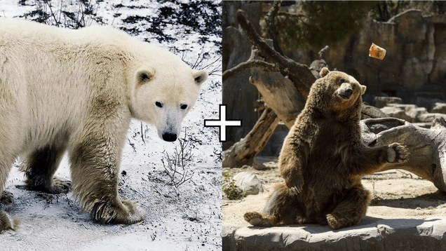 1348f30c0cf9cc9b9a0c867555a66d6a Polar Bear-Grizzly Hybrids, Aka Pizzly Bears, May Be Growing More Common Due to Climate Crisis | Gizmodo