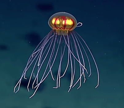 This Deep Sea Jellyfish Looks Like It Came From Outer Space
