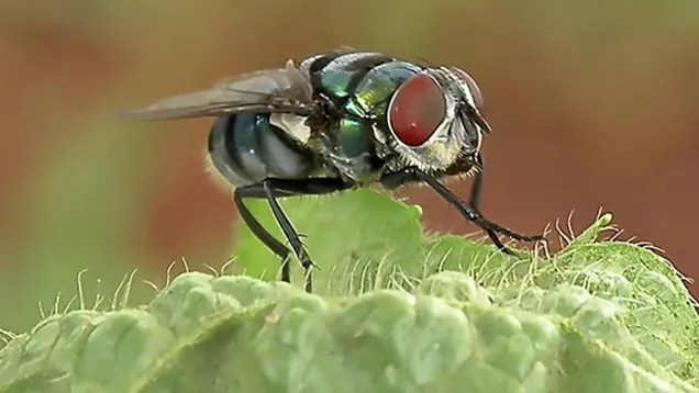 Houseflies Are More Capable of Spreading Disease Than We Realized