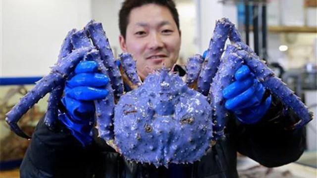 All hail the mutant lavender crab!