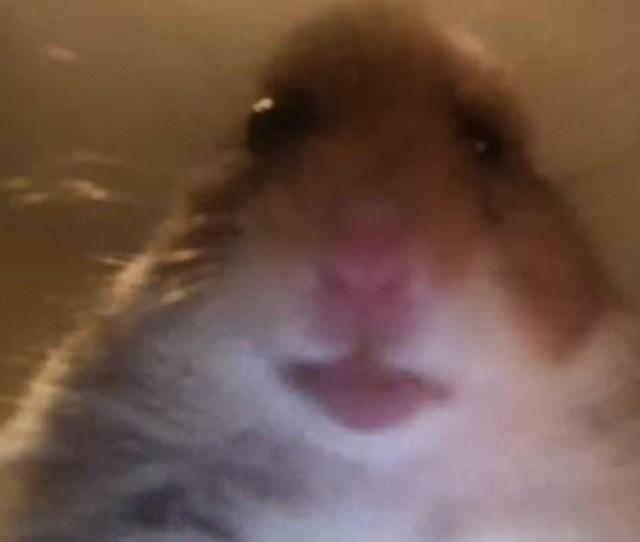 Staring Hamster