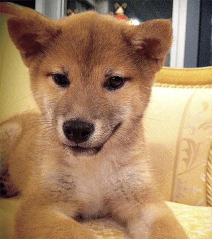 Dog breed Shiba Inu Finnish Spitz Akita Inu Canaan Dog Korean Jindo Shikoku Hokkaido Dog Mammal Vertebrate Dog breed Canidae Shiba inu Canaan dog Carnivore Korean jindo dog Shikoku Hokkaido
