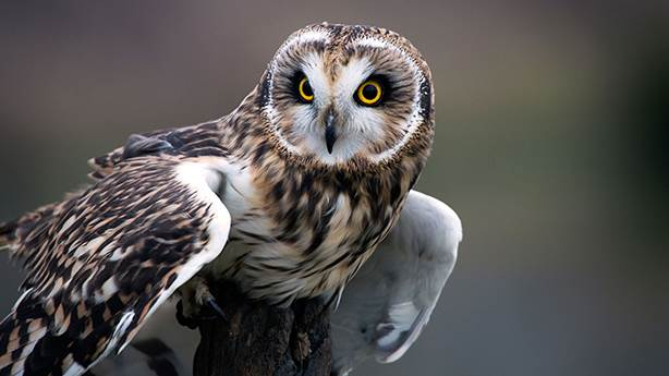 Baykuş uğursuz mudur? Mimar Sinan neden baykuş kullandı?