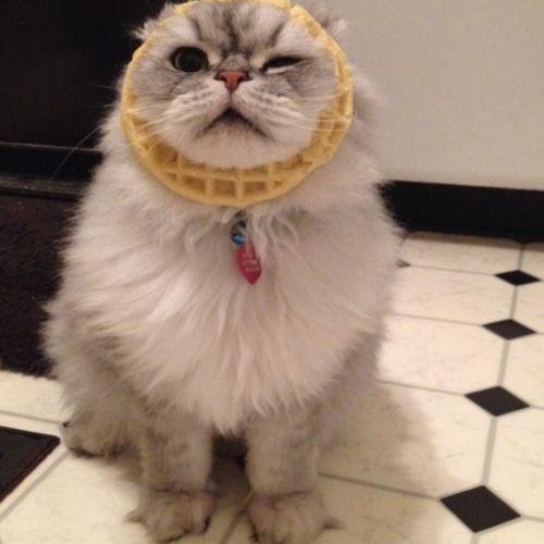 Lol Cat Waffles Funny Myniceprofile Com