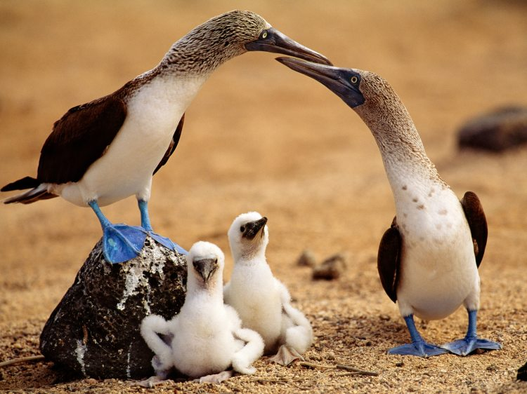 Blue-Footed Booby Threatened in the Galápagos