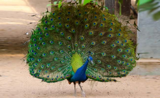 Peacock India S National Bird Could Be Termed Vermin In Goa