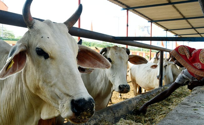 गाना सुनकर गाय दे रही हैं ज्यादा दूध, एम्पलीफायर से सुनाए जा रहे हैं रोजाना 3 घंटे गाने