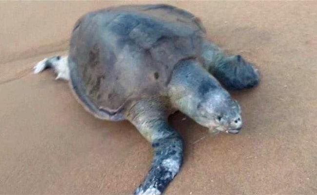 olive ridley found dead on chennai beach