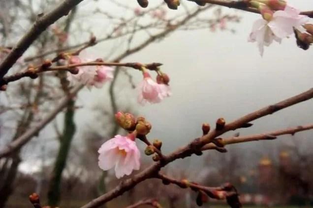 Природна аномалія: в Кривому Розі раптово зацвіла вишня. Фото
