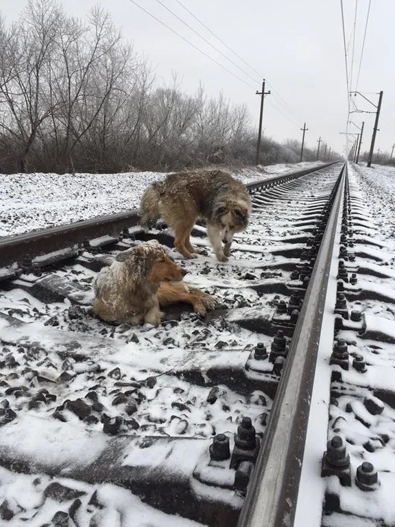 На Закарпатье пес два дня согревал раненую поездом подругу ...